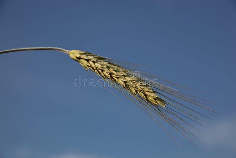 Spikelet bonito do centeio contra o céu azul imagens de stock royalty free