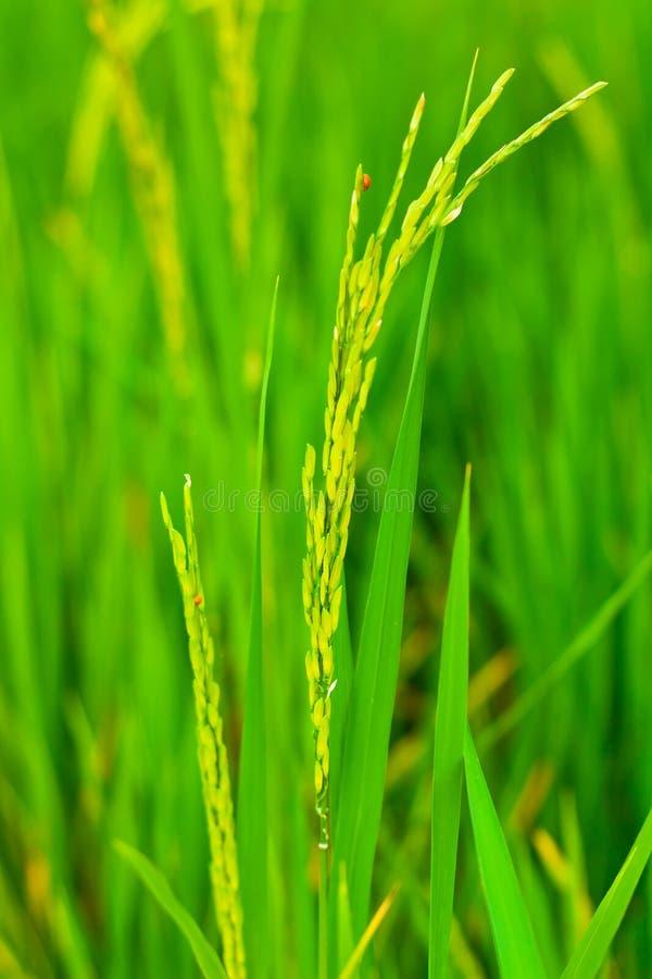 Download Spikelet do arroz imagem de stock. Imagem de grão, brilhante - 26518193