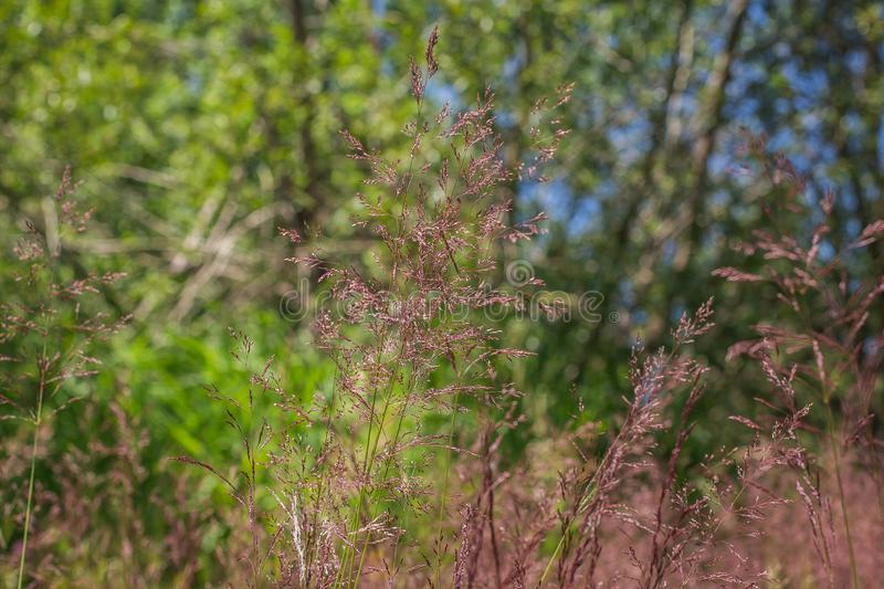 Spikelet flowers of Agrostis capillaris. On the meadow close to Vlasina lake in the southeastern Serbia stock images