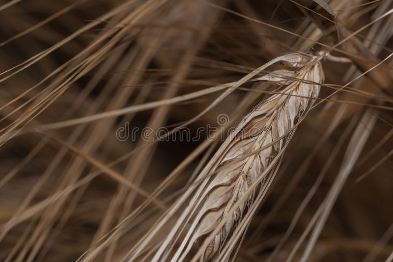 Spikelet. In a large increase.  in the background are arrows from  s.  everything is located from  to bottom at an angle of 45 royalty free stock photography