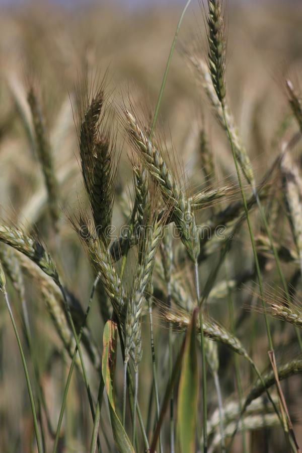 Spikelet of oats in the field. The oat Avena sativa, sometimes called the common oat, is a species of cereal grain grown for its seed, which is known by the same stock images