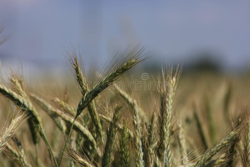 Spikelet of oats in the field. The oat Avena sativa, sometimes called the common oat, is a species of cereal grain grown for its seed, which is known by the same stock image