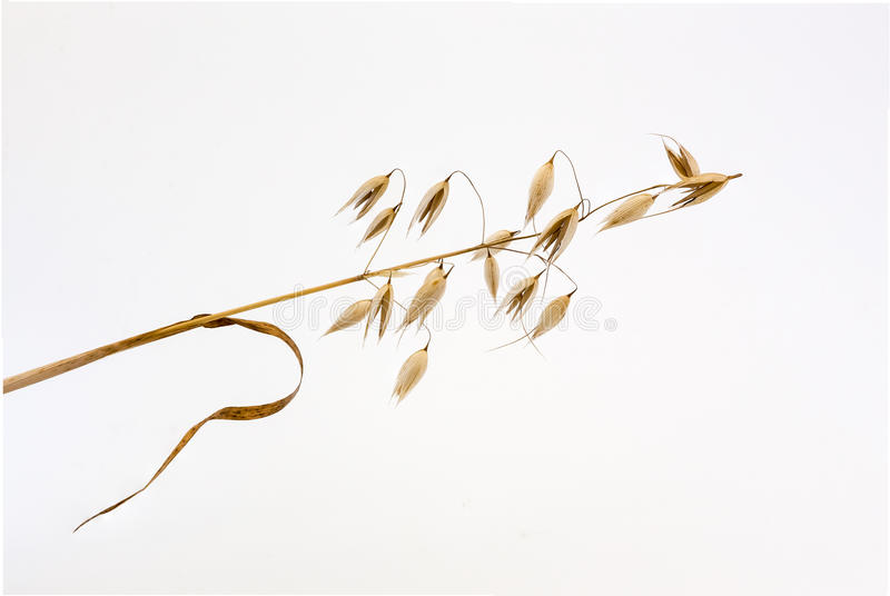 Spikelet of oats. One spikelet of oats on a white background royalty free stock photography