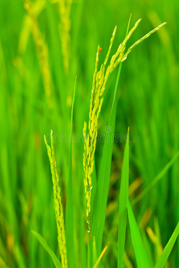 Download Spikelet of rice stock image. Image of grain, bright - 26518193