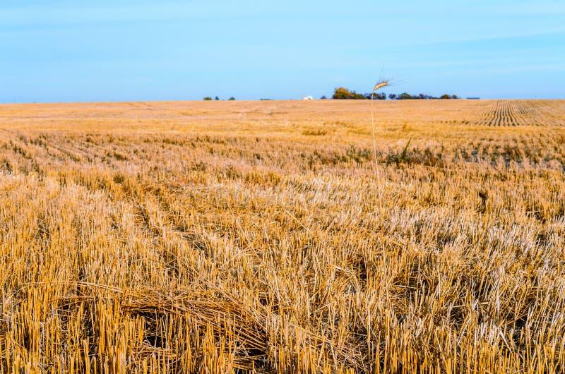 Spikelet solitário em um campo amarelo chanfrado com um céu azul além de t imagens de stock