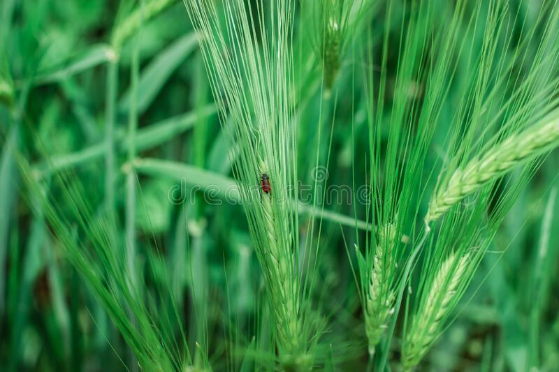 Spikelet of wheat. Little red beetle sits on a spikelet of wheat in the field royalty free stock images