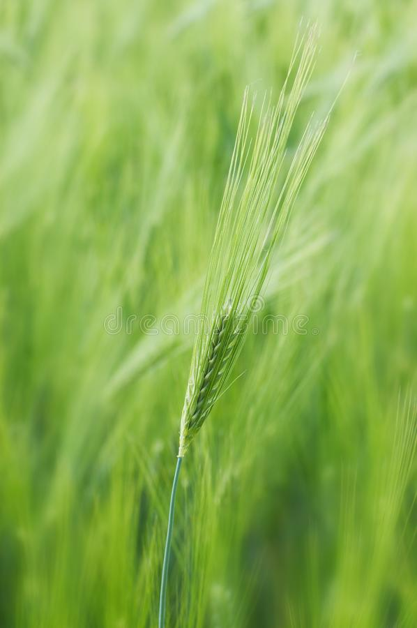 Download Spikelet of young wheat stock image. Image of leaf, card - 9636925