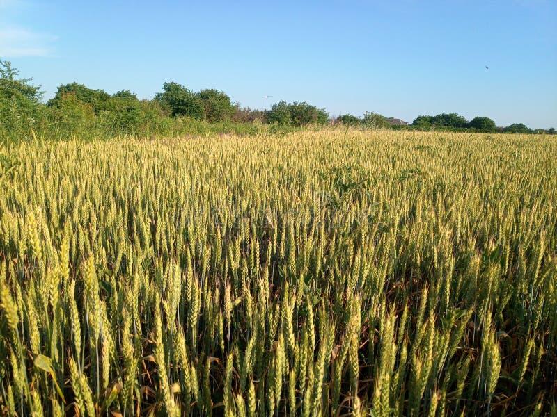 Spikelets av grönt vete i ett fält mot blå himmel arkivfoton