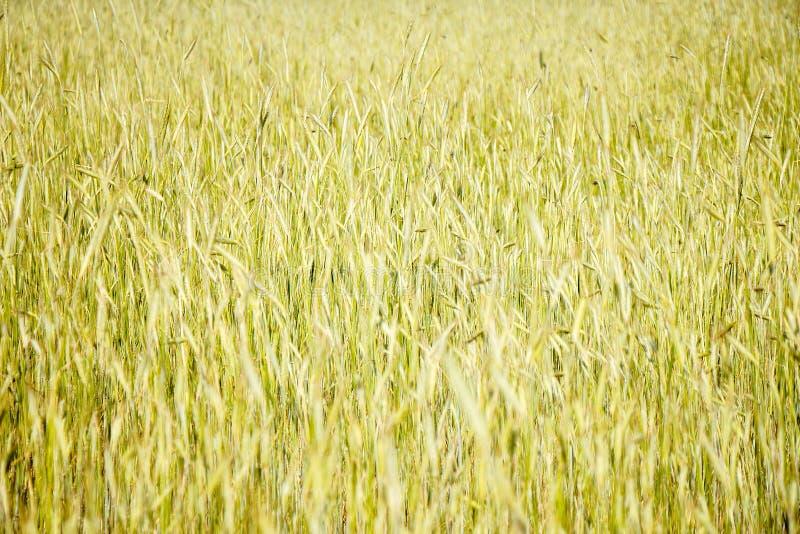Spikelets av grönt vete Mognande vete i fältet royaltyfri foto