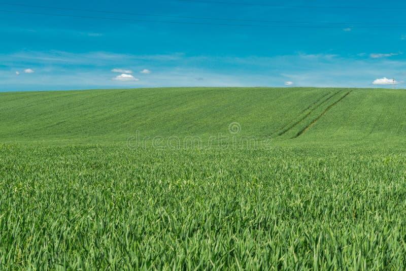 Spikelets av grönt vete mot den blåa himlen fotografering för bildbyråer