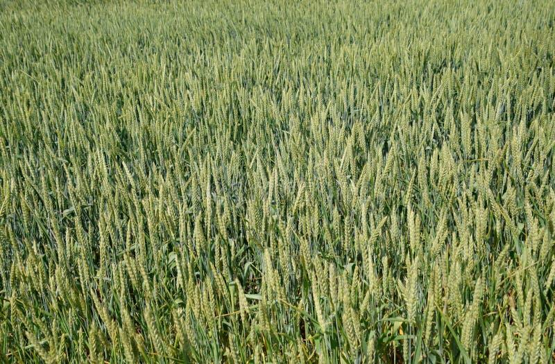 Spikelets av gr?nt vete ripening vete fotografering för bildbyråer