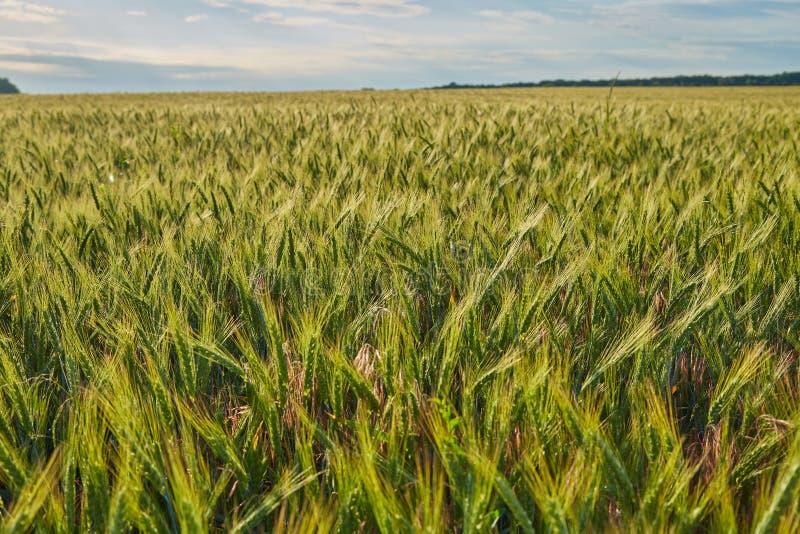 Spikelets av korn f?lt av gr?nt omoget korn arkivbilder