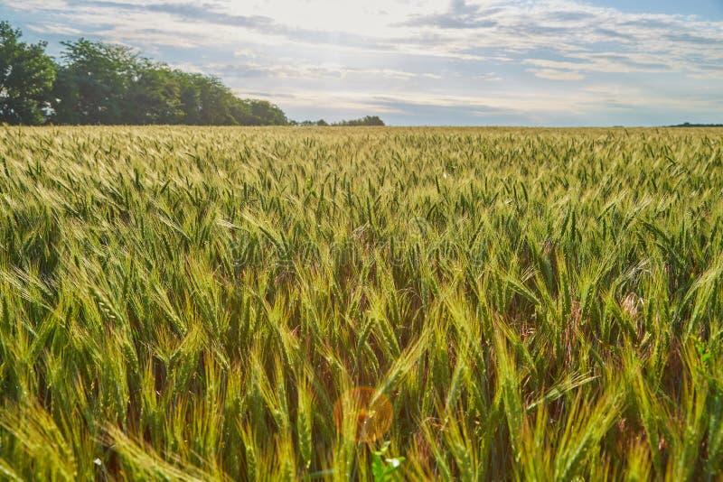 Spikelets av korn f?lt av gr?nt omoget korn fotografering för bildbyråer