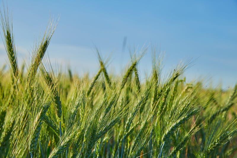 Spikelets av korn f?lt av gr?nt omoget korn royaltyfri bild