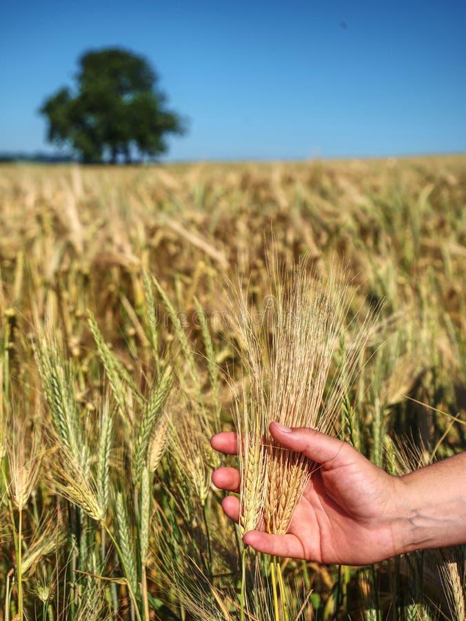 Spikelets av korn med tunga korn, lind i bakgrund royaltyfri fotografi