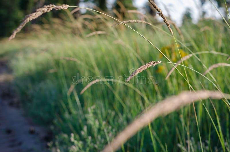 Spikelets claros brilhantes na luz solar da manhã no fundo de um campo do verão de ervas selvagens Foco macio imagens de stock royalty free