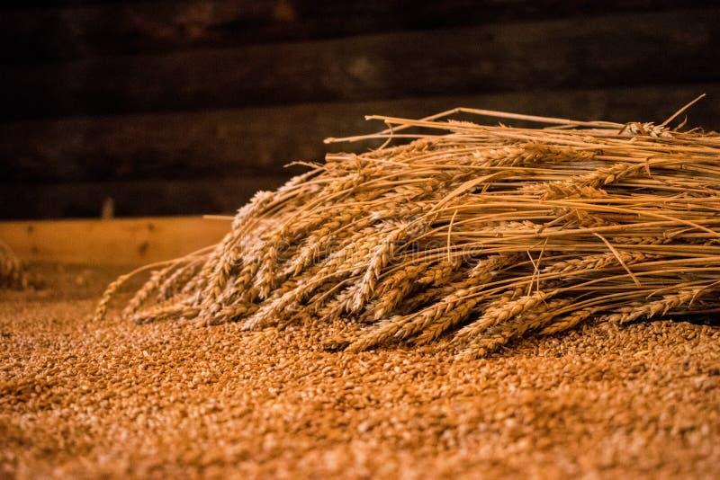 Spikelets do trigo que encontram-se na grão do uso, fibras, cereais Colheita, alimento imagens de stock royalty free