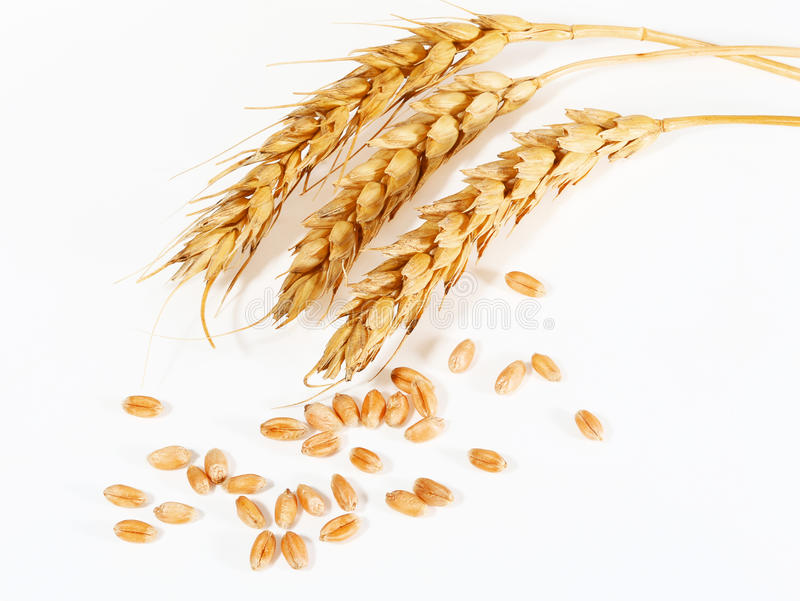 Spikelets and grains of wheat stock photo