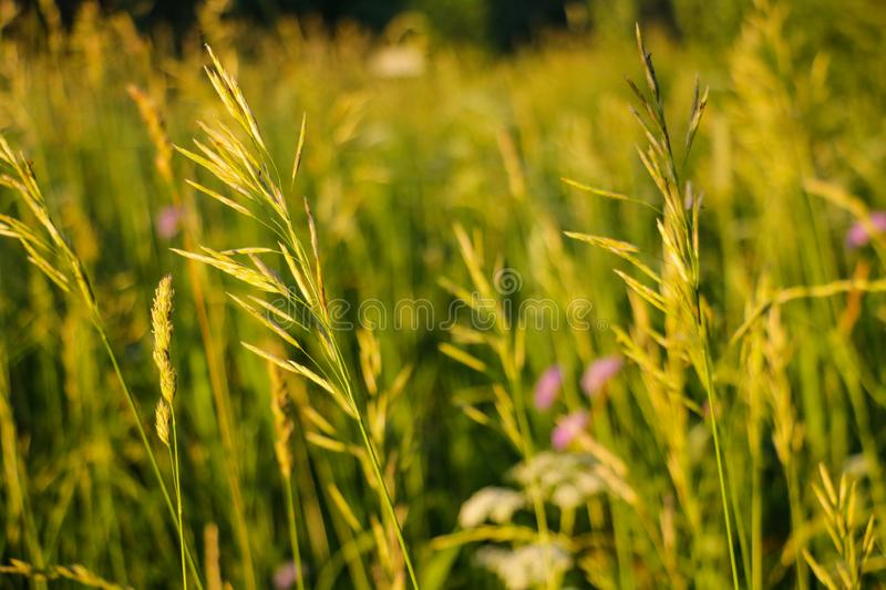Spikelets of grass on a green background during sunset stock photos