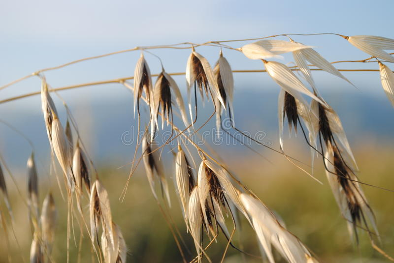 Spikelets of oats stock photography