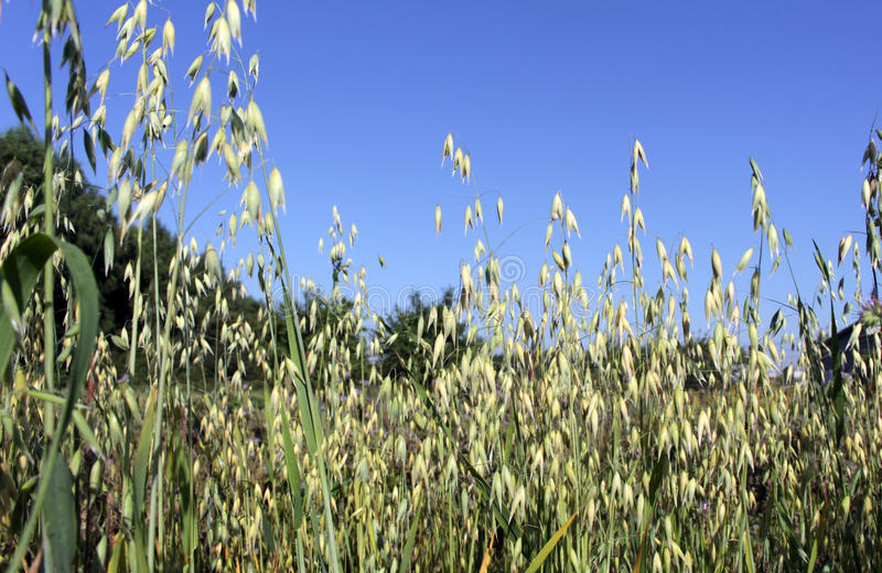 Spikelets of oats, oats field and blue sky stock images