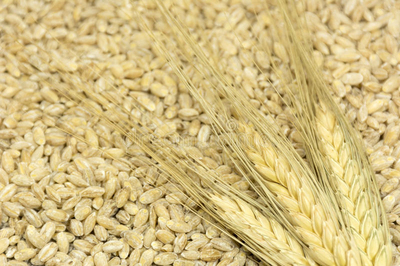 3 spikelets of wheat lie on the spilled grain, cereals, food, ha. Rvest, use, fiber royalty free stock photos