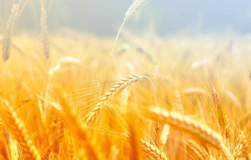 Spikelets of wheat in the sunlight stock photo