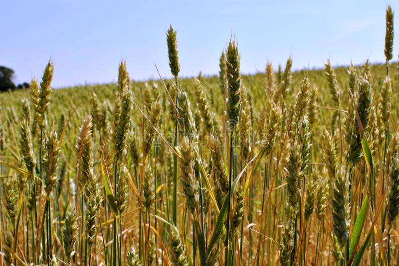 Spikelets of wheat under the shining sun stock image