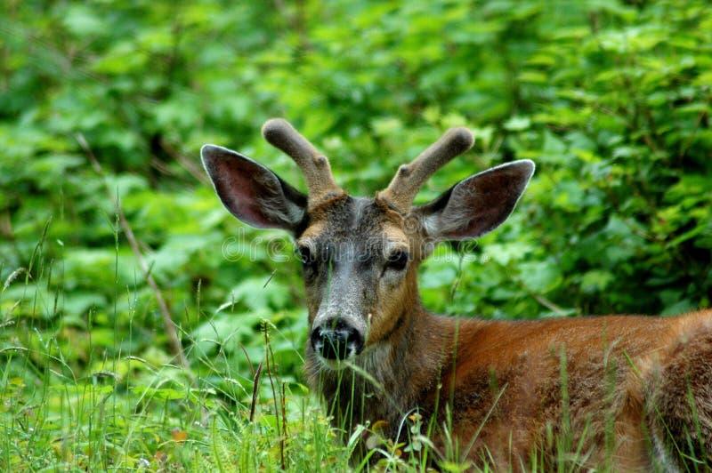 spiker czarny jeleni ogon zdjęcie stock