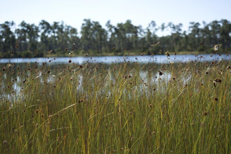 Spikerush-Wiese im Everglades-Nationalpark-Sumpfgebiet mit Kiefernblumen und -libellen stockfotografie