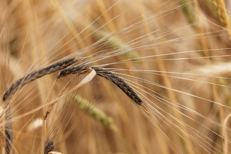 Spikes of barley with Covered smut, a fungi disease Ustilago hordei stock photography