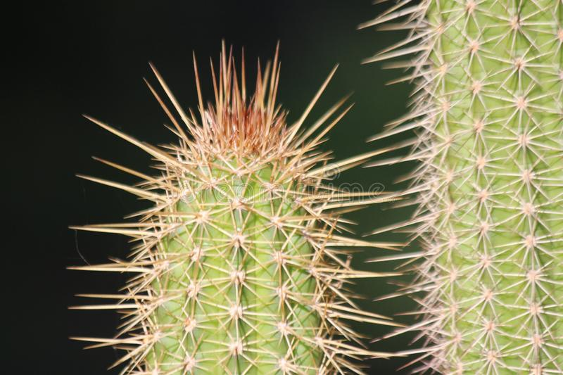 Spikes on Cactus royalty free stock photos