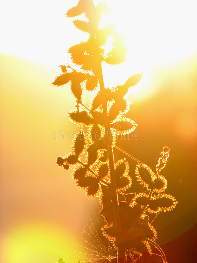 Spikes Shine. A sun shines behind a spiky tree royalty free stock image