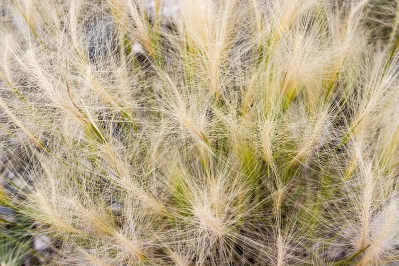 Spikes of spita grass royalty free stock photos