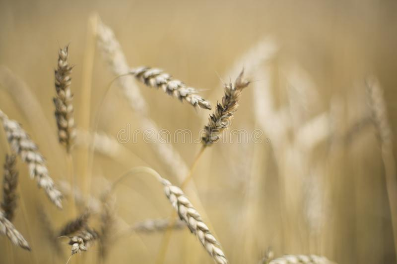 Spikes of wheat in the field. royalty free stock photo