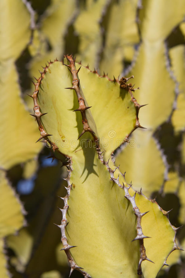Download Spikey plant stock image. Image of fleshy, front, vertical - 27691373