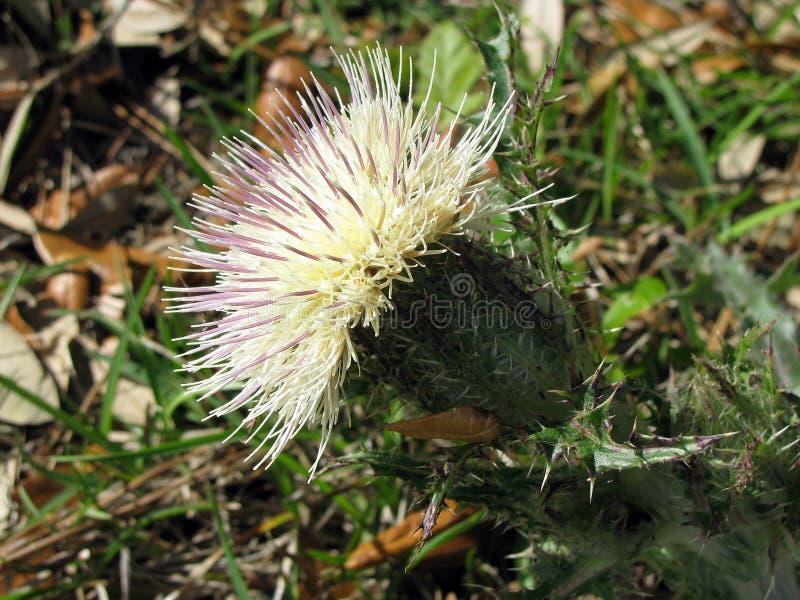 Spiky белый цветок стоковые изображения rf