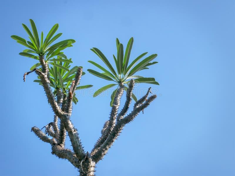 Spiky завод пустыни с зелеными листьями против ясного голубого неба стоковое изображение rf
