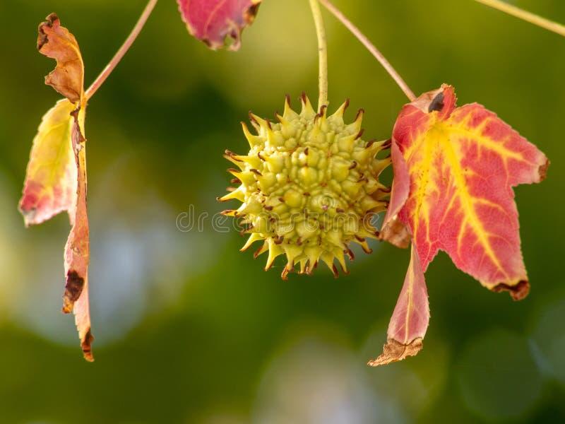 Spiky стручок семени дерева Sweetgum с красными листьями осени стоковые фотографии rf