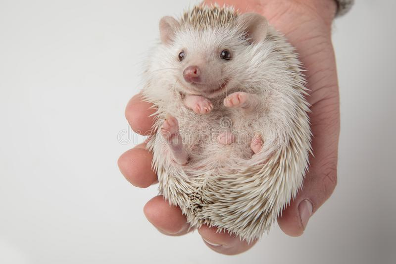 Spiky african dwarf hedgehog resting in people`s hand. On light grey background royalty free stock photography