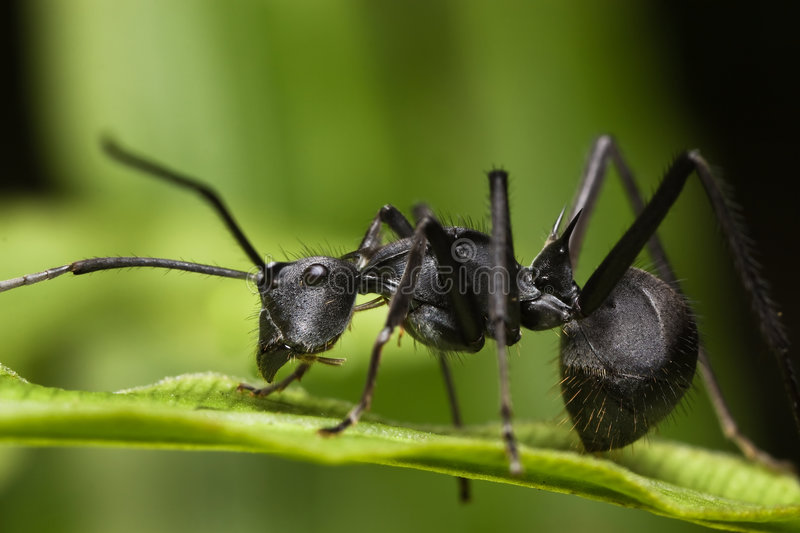 Spiky Ant - Polyrhachis ant. Spiky Ant on Green leaf stock photos
