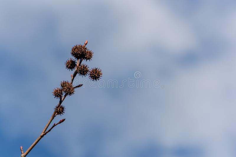 Spiky balls seeds of Liquidambar styraciflua, commonly called American sweetgum on the background of a bright blue sky with small stock image