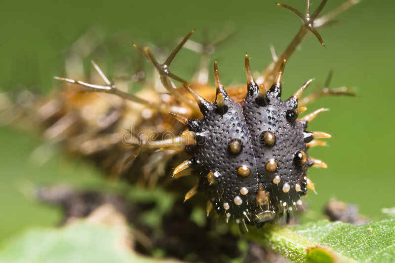 Spiky caterpillar face. Macro over green background royalty free stock image