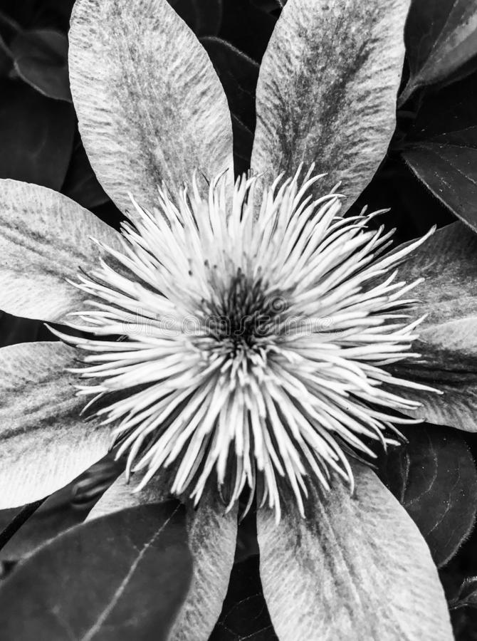 Spiky flower in black and white royalty free stock photo
