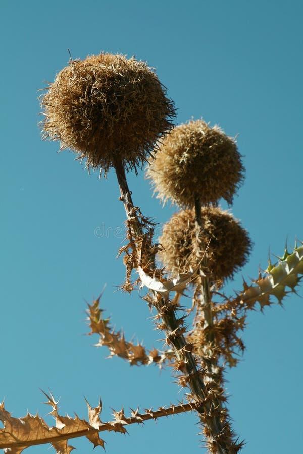 Spiky flower heads royalty free stock photo