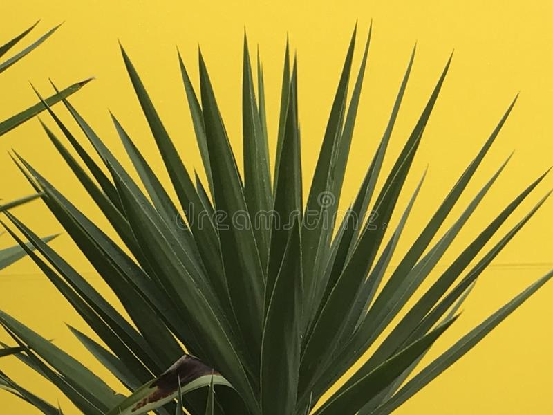 Spiky green garden plant against yellow background royalty free stock photos