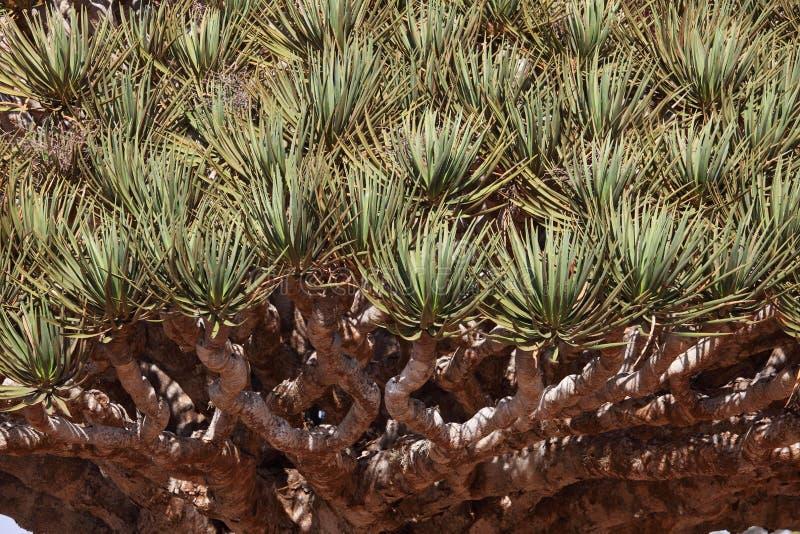 Spiky leaves of Dragon tre. E - Dracaena cinnabari - Dragon's blood - endemic tree from Soqotra, Yemen stock images