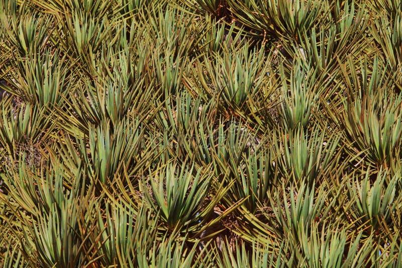 Spiky leaves of Dragon tre. E - Dracaena cinnabari - Dragon's blood - endemic tree from Soqotra, Yemen stock photography