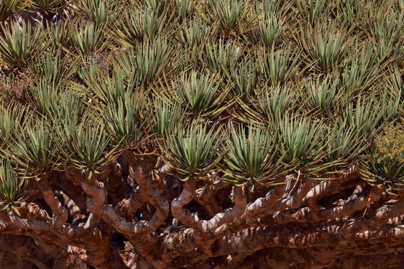 Spiky leaves of Dragon tre. E - Dracaena cinnabari - Dragon's blood - endemic tree from Soqotra, Yemen royalty free stock image