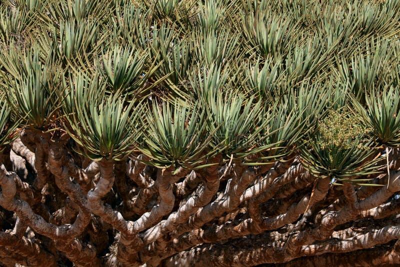 Spiky leaves of Dragon tree. Dracaena cinnabari - Dragon's blood - endemic tree from Socotra, Yemen royalty free stock images